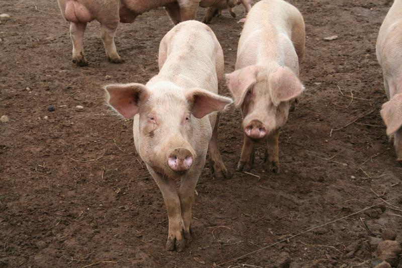 Sow (female pig), Gower, South Wales.