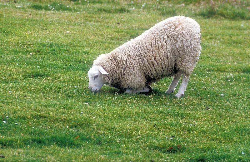 Sheep kneeling