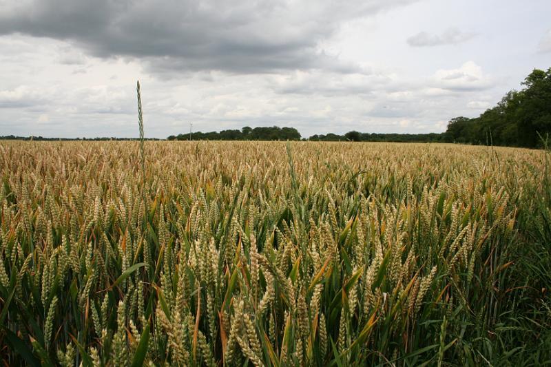 Field Crop Crop Wheat Field 07