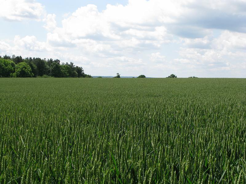 Field Crop Crop Wheat Field 11