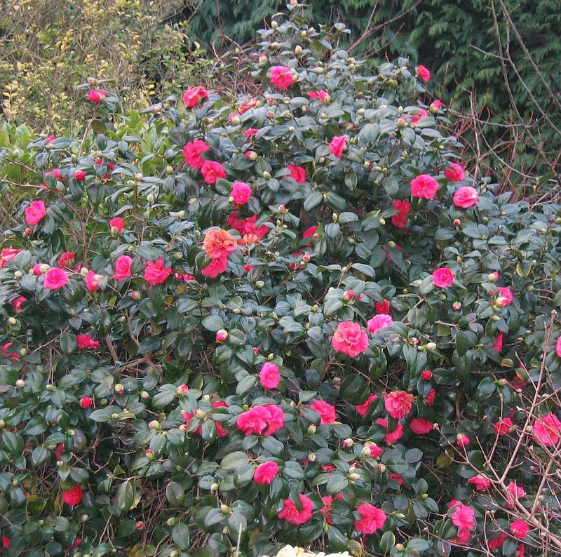 Shrub camellia 03 - Camelia planta ...