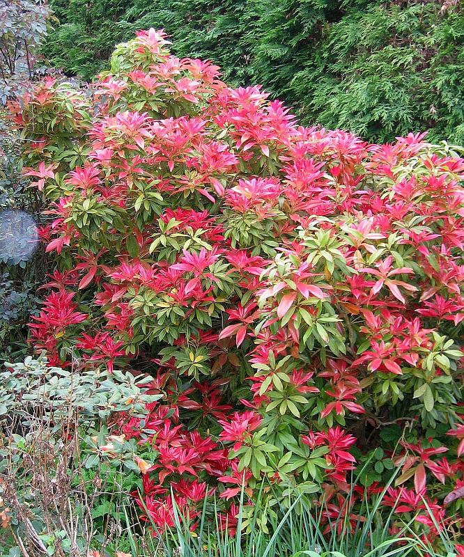 Landscape Bushes Shrubs