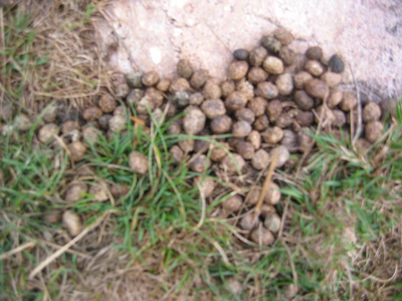 Rabbit (Lepus europaeus) droppings; you often find rabbit droppings on ...