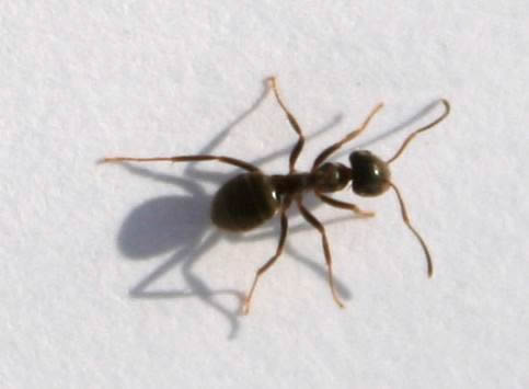 black ants with wings pictures to pin on pinterest pinsdaddy