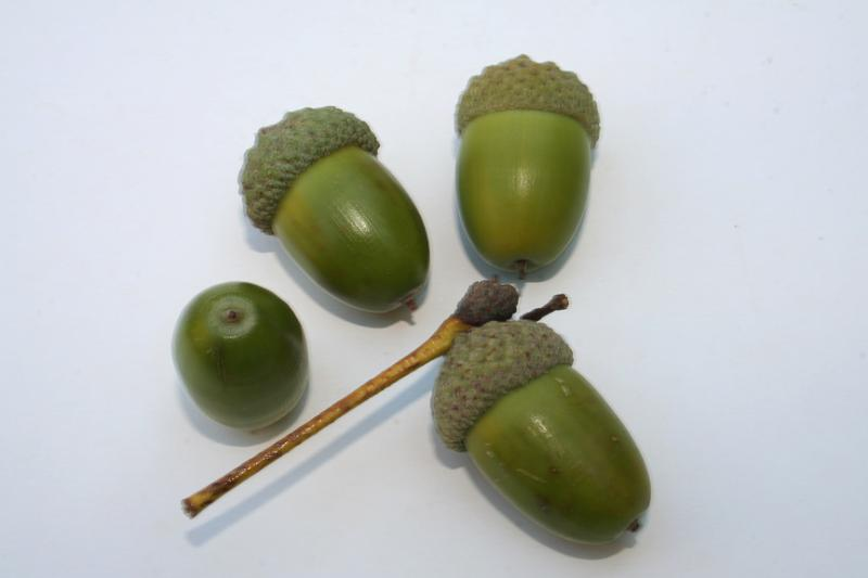 Tree Oak Acorns 06