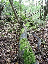 This woodland has plenty of fallen trees, rotting down and returning nutrients to the soil.