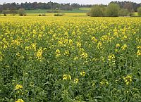 Oil-Seed Rape - a common sight in Britain
