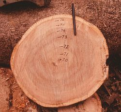 Tropical white teak (Gmelina arborea) showing annual growth rings. Image credit: Ian Baillie.