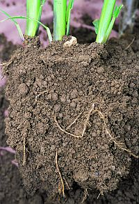 Soil forms a strong foundation for plant roots.