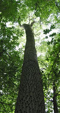 The trunk of the English Oak tree