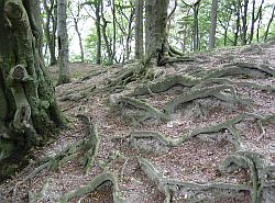Beech tree roots in chalky soil