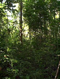 dense tropical rain forest undergrowth in pasoh, malaysia  image credit:  ian baillie